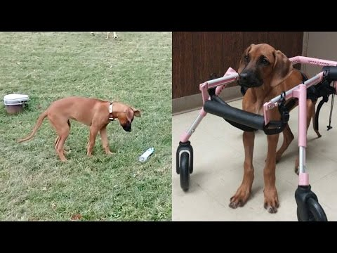 Paralysed Dog Miraculous Recovery
