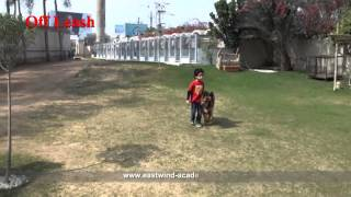 German Shepherd - Off Leash Dog Course - Eastwind Training (in Egypt)