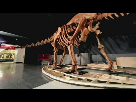 Massive dinosaur skeleton spills out of NY museum - YouTube