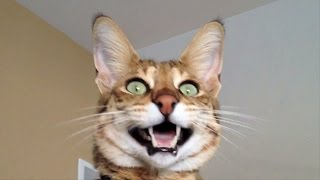 Кот породы Саванна
