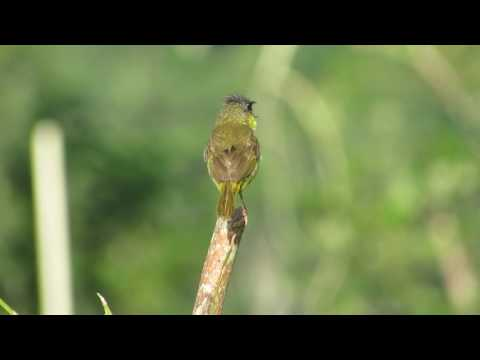 Gray-crowned Yellowthroat calling on a post in Belize (MVI 2988 GCYE a)