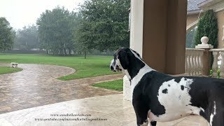 Harlequin Great Dane Watches Florida Tropical Storm Nestor