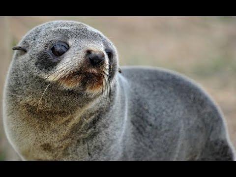 Fur seals - Oceanic Island | Ocean Wildlife Documentary 2018