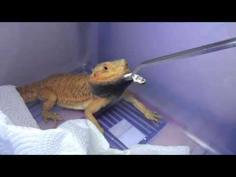 鬆獅公食superfood :bearded dragon eating superfood