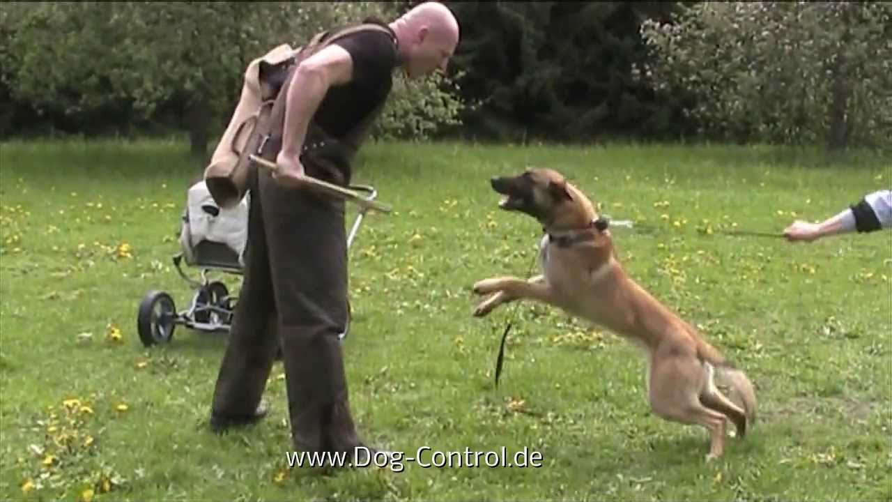 Schutzhund  Dogs For Sale
