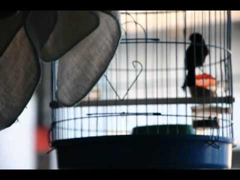 Chòe đất hót giọng hay-http://cafedavang.com