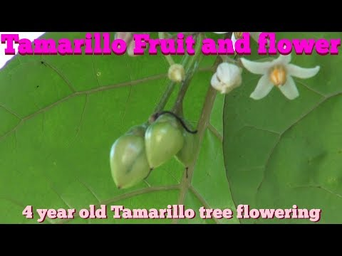 ⟹ TAMARILLO TREE | Solanum Betaceum | Flowers, Fruits, Will I Get Fruit Before Fall