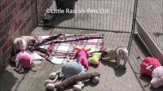 Little Rascals Uk Breeders New Litter Of Pug Puppies