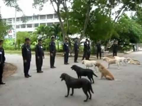 ฝึกทบทวนสุนัขตำรวจ