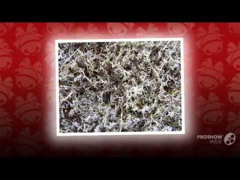 Cladonia rangiferina - fungi kingdom
