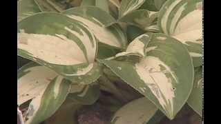 Gardening in the Zone: Miniature Hostas