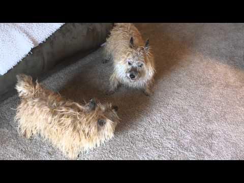 Cairn Terriers' after bath antics