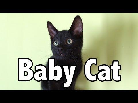 Baby Cat - Baby Shark (Cat Version)