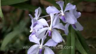 Staghorn fern and rare Blue Vanda orchid growing in India