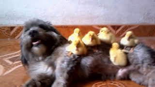Shihtzu Playing With Your Pets Photos / Shihtzu  Jugando Con Sus Mascotas En Fotos/ Shihtzu Dog