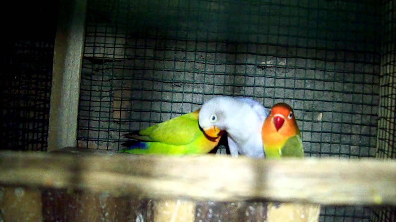 Burung Lovebird Blorok Violet YouTube