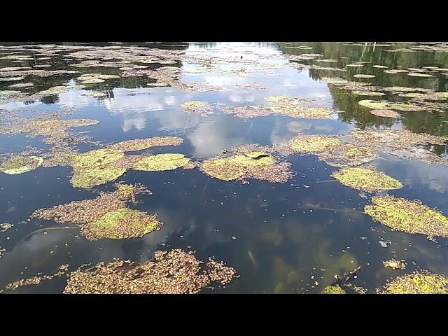 второй ужик на кувшинке на озере