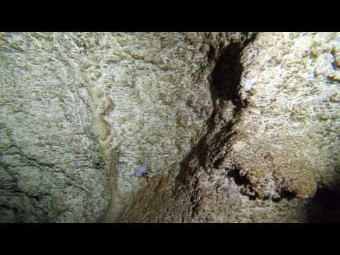 Blind Cave Fish - (lucifuger / Typhliasina Pearsei / Ogilbia Pearsei ?)