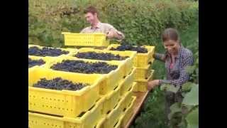 Vermont Grape Harvest 2014