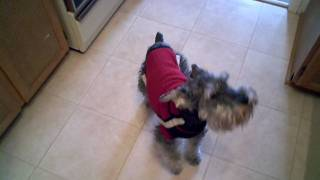 Bennie The Miniature Schnauzer Howling For Dinner