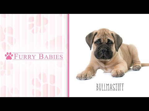 Is the Bullmastiff the right breed for you?