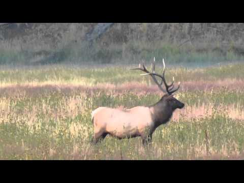 Yellowstone Elk rut