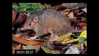 Antechinus - Australian marsupial mouse