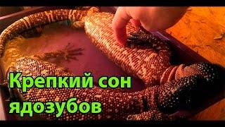 Крепкий сон ядовитых ящериц рода Heloderma