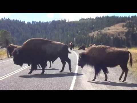 Bisontes, los amos de Yellowstone
