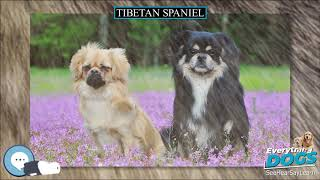 Tibetan spaniel  Everything Dog Breeds