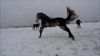 Как танцуют андалузские лошади