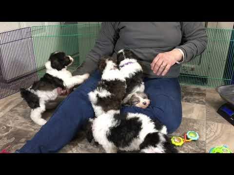 Grace's Schnoodle puppies 1-15-19
