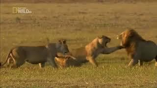 Львица защищает львенка от льва