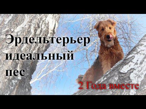 Идеальная собака Эрдельтерьер. Лучший друг.