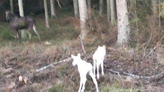 罕見畫面:夢幻的白色駝鹿雙胞胎