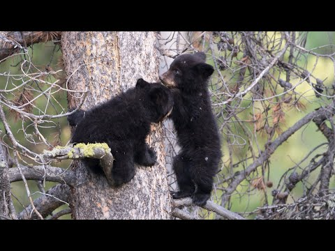 Yellowstone Babies - grizzly and black bears, otters, coyotes, owls, badgers, bison and elk