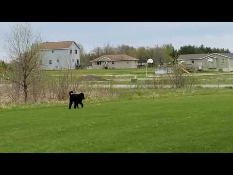 Gus the Gordon Setter stalking a birdie during game of fetch