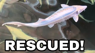 SAVING ENDANGERED STURGEON FROM CAVIAR FARMERS!