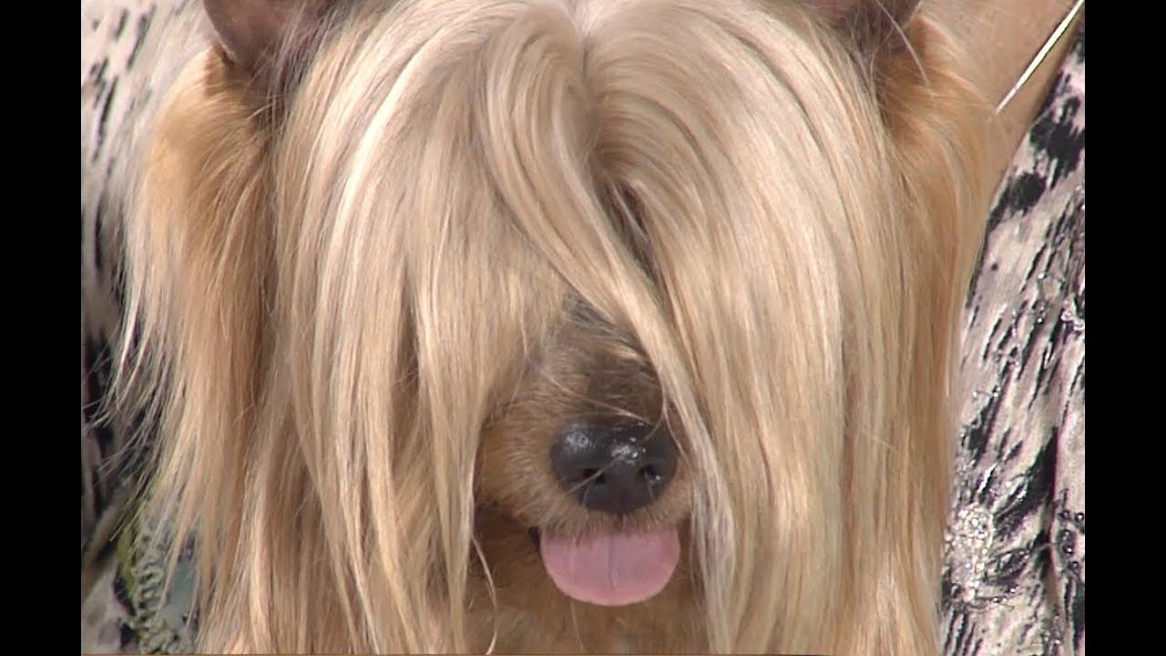Test.tv: Все для животных. Австралийский шелковистый терьер – не путать с йоркширским терьером