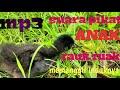 Suara Tangisan Anak Ruak Ruak  Mp3 - Mp4 Download
