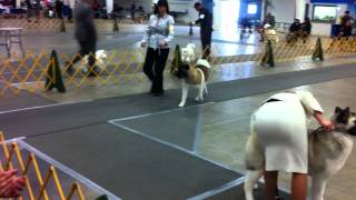 Akita Specialties, Santa Clara Valley Kennel Club Show, Feb. 20, 2012