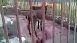 Армяне мучают животных