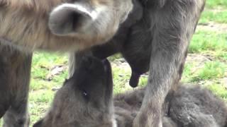 Pairi Daiza. Bébé hyène à la tétée le 17 octobre 2015