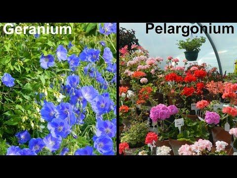 What Is A Geranium & What Is A Pelargonium?