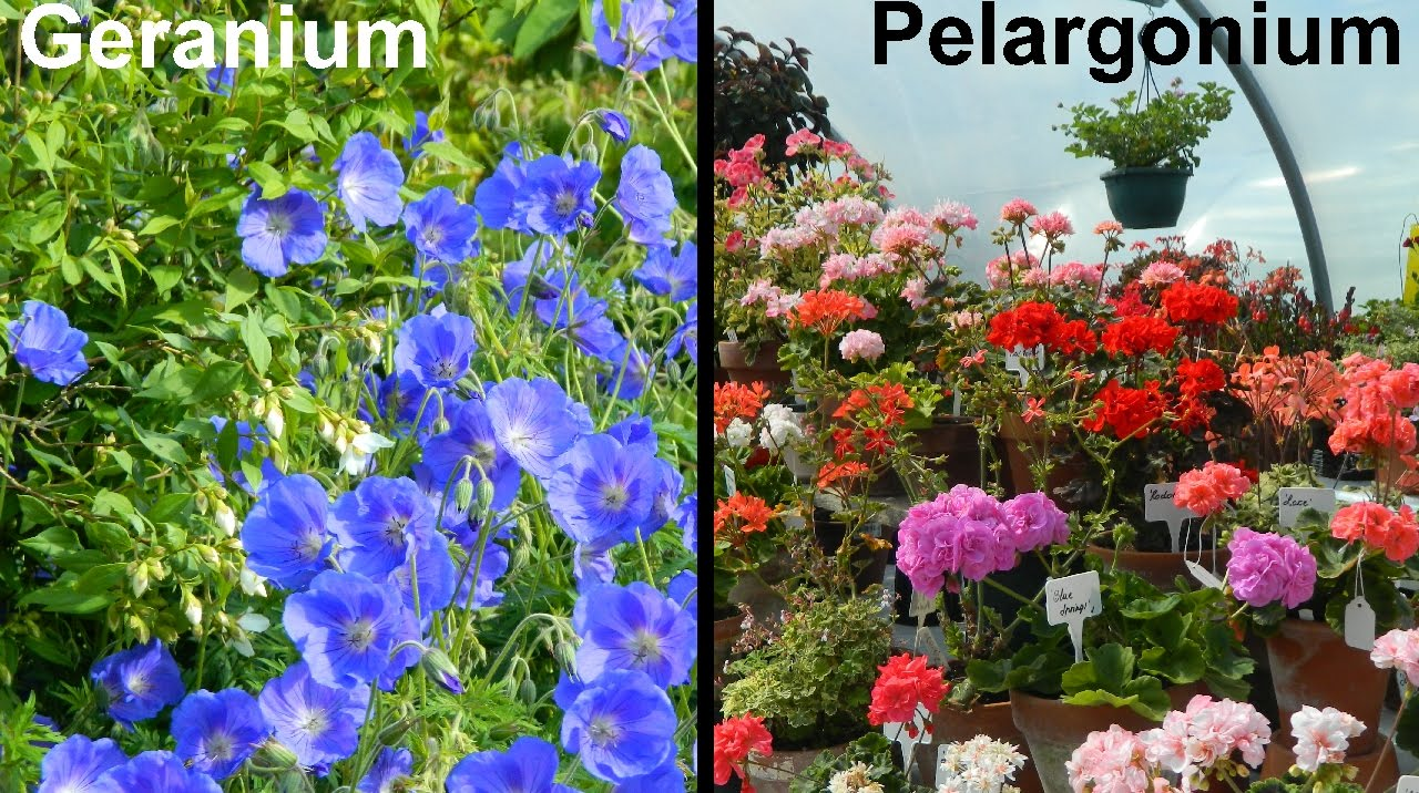 What Is A Geranium What Is A Pelargonium Youtube