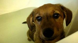 My Mini Dachshund/corgi Doesnt Want A Bath!