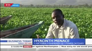 Invasion of Hyacinth in L.Victoria poses a major blow to fishermen in Kisumu