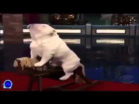 Bulldog Riding Rocking Horse - Twitter Video Version (Song: Africa by Toto on CBS)