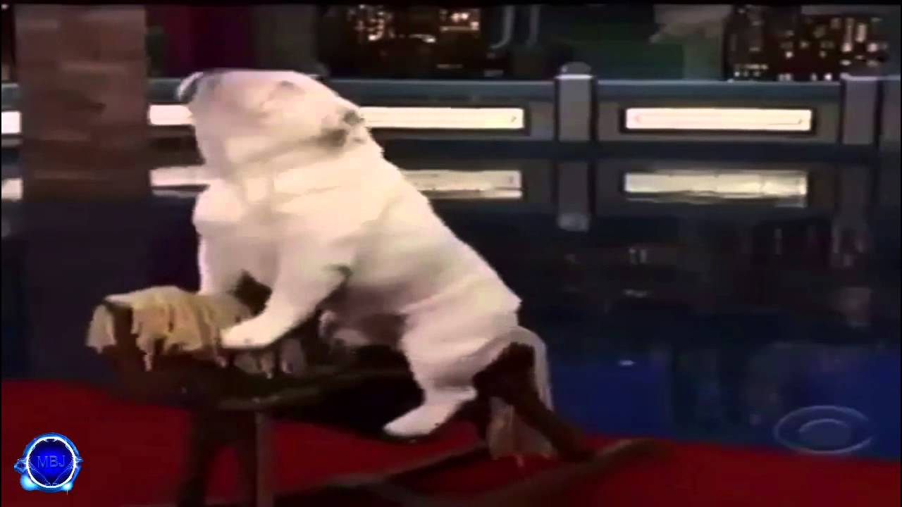 bulldog riding rocking horse - twitter video version (song: africa