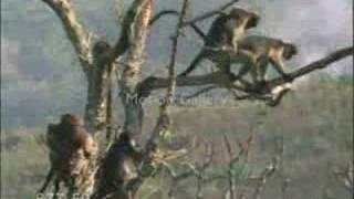 çok komik azgın maymun m.a